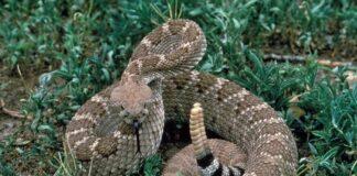 The Rattlesnake's Warning