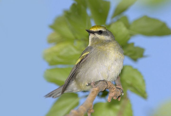Watch for the Golden-Winged Warblers